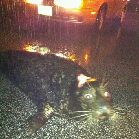 Feisty -- the wild-eyed, freedom-loving Duluth seal -- is headed to the Como Zoo - The Blotter