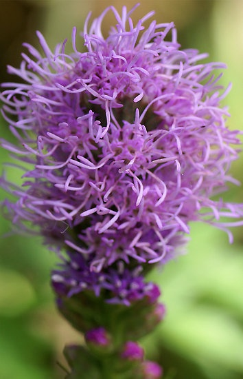 228 best images about wisconsin native plants on pinterest
