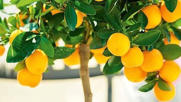 99fdff12e984dc3461d4f25b3152d96b - Growing Citrus The Essential Gardener's Guide