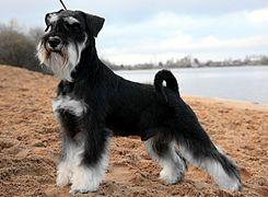 El Schnauzer miniatura (en alemán: Zwergschnauzer) es una derivación del perro schnauzer estándar, surgido en Alemania en la segunda mitad del siglo XIX