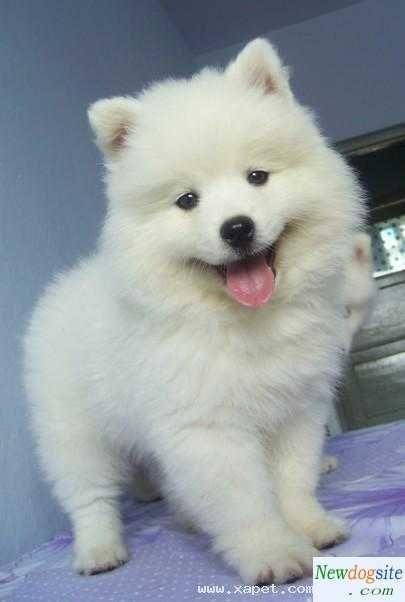 Samoyedo bebé ...