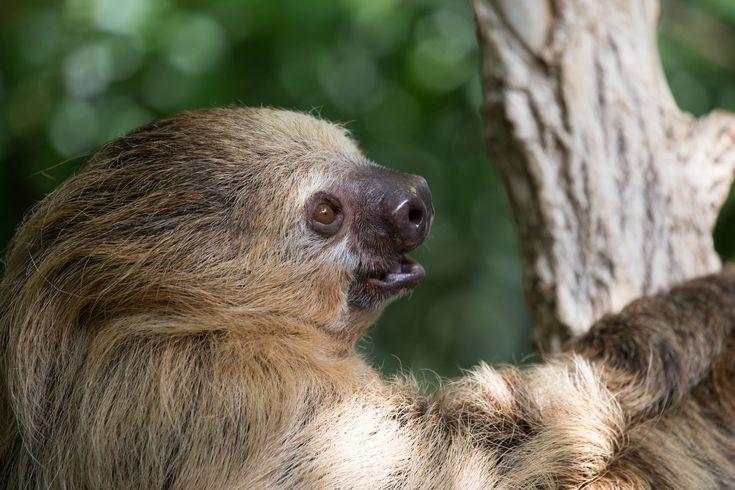 Moe the Sloth - Moe the Sloth.