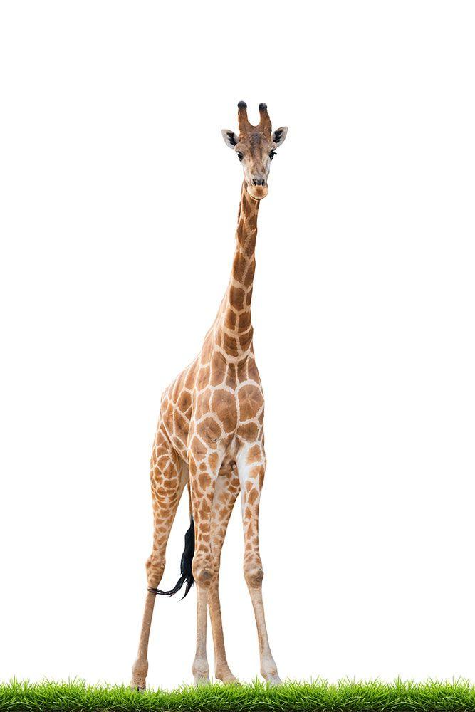 Giraffen werden bis zu 6 Meter hoch und wiegen durchschnittlich 1600 Kilogramm. Wir fertigen Ihnen diesen Riesen auf unserer Fototapete exakt nach Mass an, so dass er perfekt auf Ihre Wand passt.