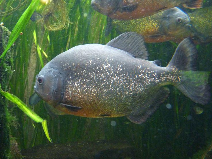 http://faaxaal.forumgratuit.ca/t2867-photo-de-poisson-d-eau-douce-piranha-a-ventre-rouge-pygocentrus-nattereri