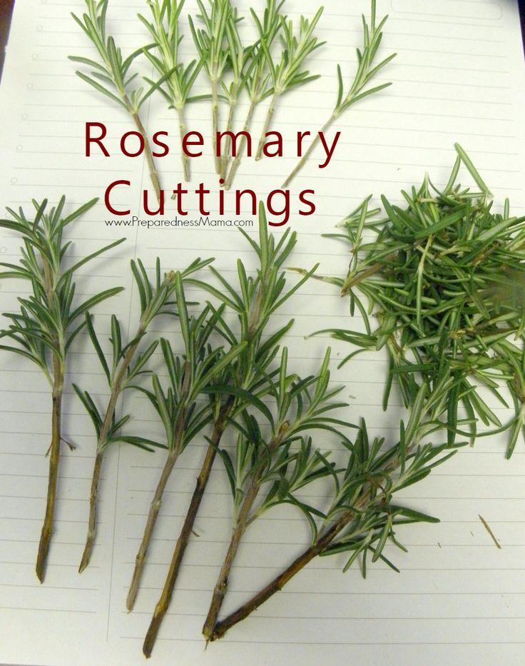 Rosemary cuttings ready for growing medium | PreparednessMama