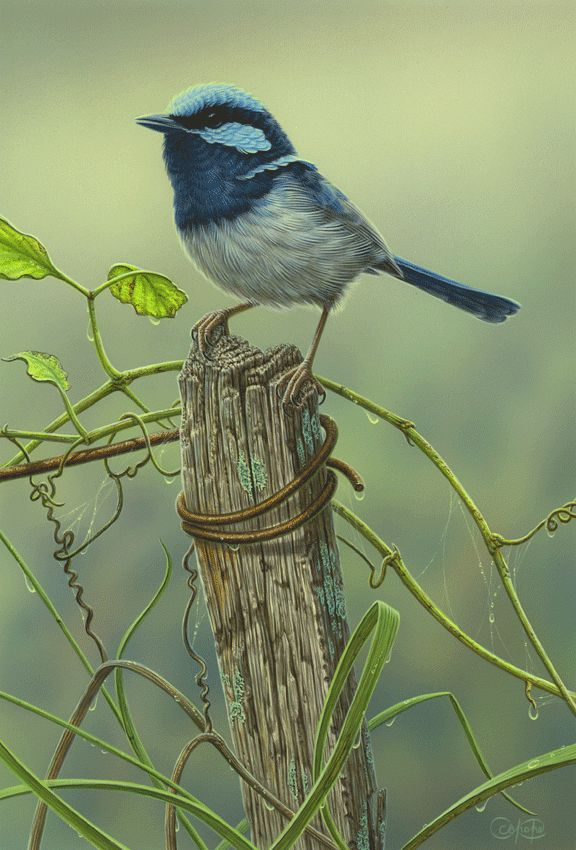 Superb Fairy- Wren & Vines - Original Available Acrylic on Board 30 x 20cm $3,650 Print edition TBA by Christopher Pope