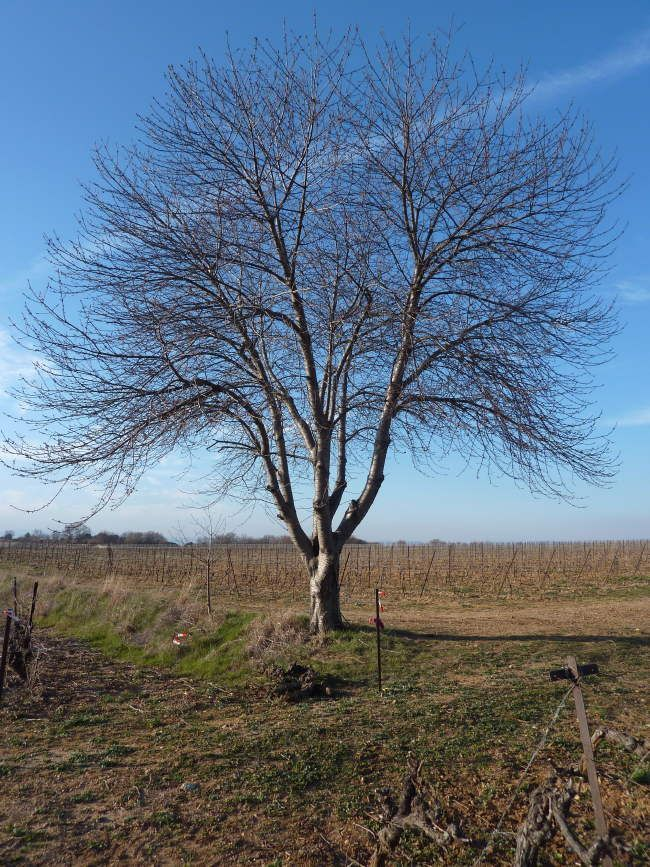 Just a simple Tree in a field near Villa Roquette, B&B in our village of  Montblanc in the heart of languedoc the South of France