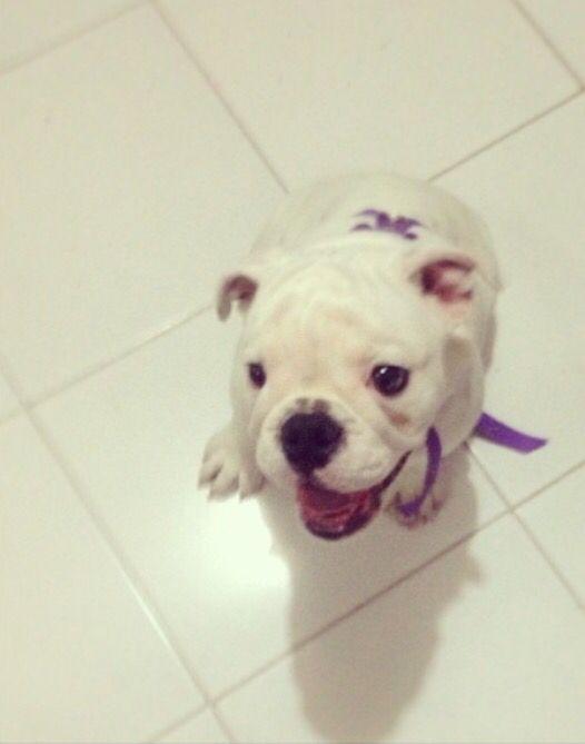 Lula bulldog