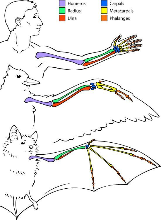 Google Image Result for http://askabiologist.asu.edu/sites/default/files/resources/articles/bats/homology_550.jpg