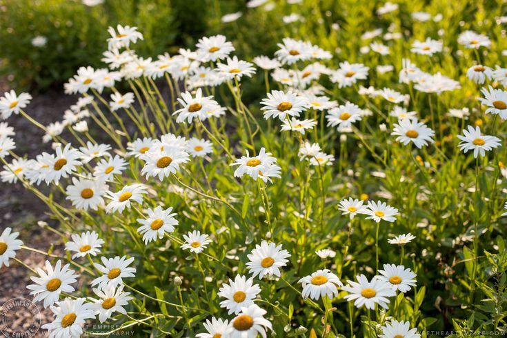 Rockway Vineyards Wedding, Niagara - Beautiful field of daisies. #sweetheartempirephotography