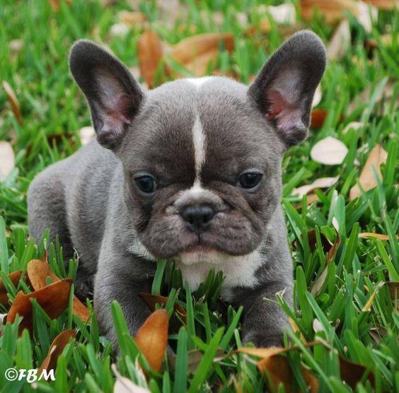 'Mavi' Fransız Bulldog köpek yavrusu.