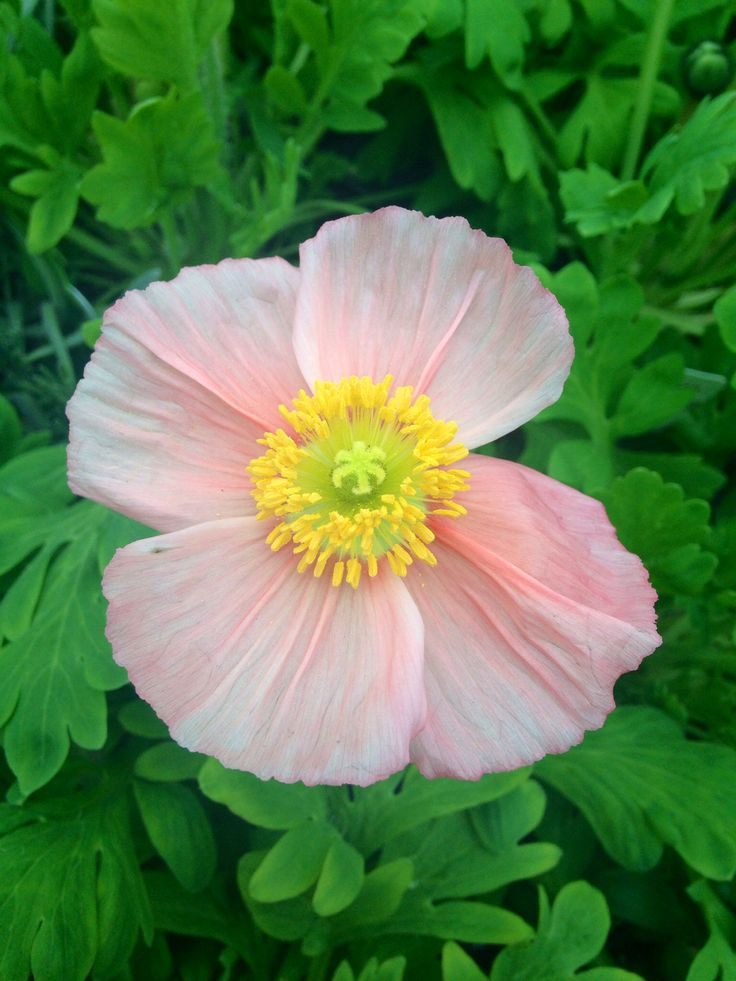 Pale and delicate~ Iceland Poppy