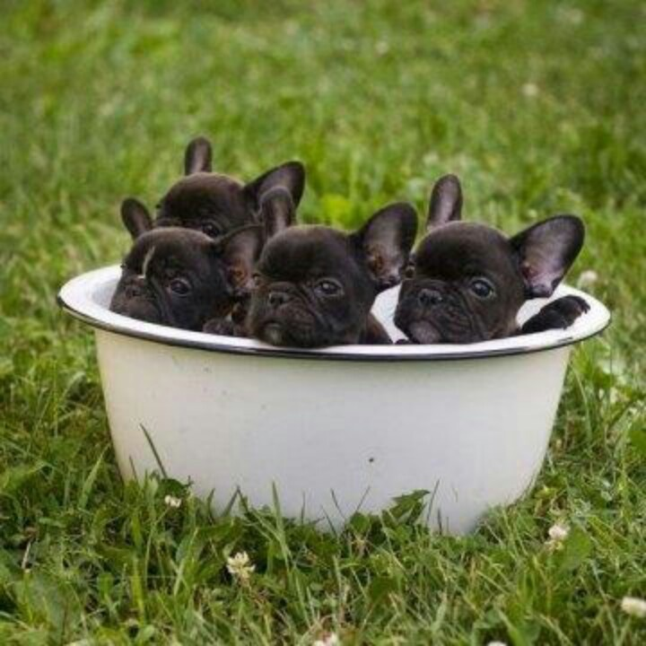 French bull dogs!!!!!!!!!!!!!!!!!!!!!!!!!!!!!!!!!!!!!!!!!!!!!!!!!!!