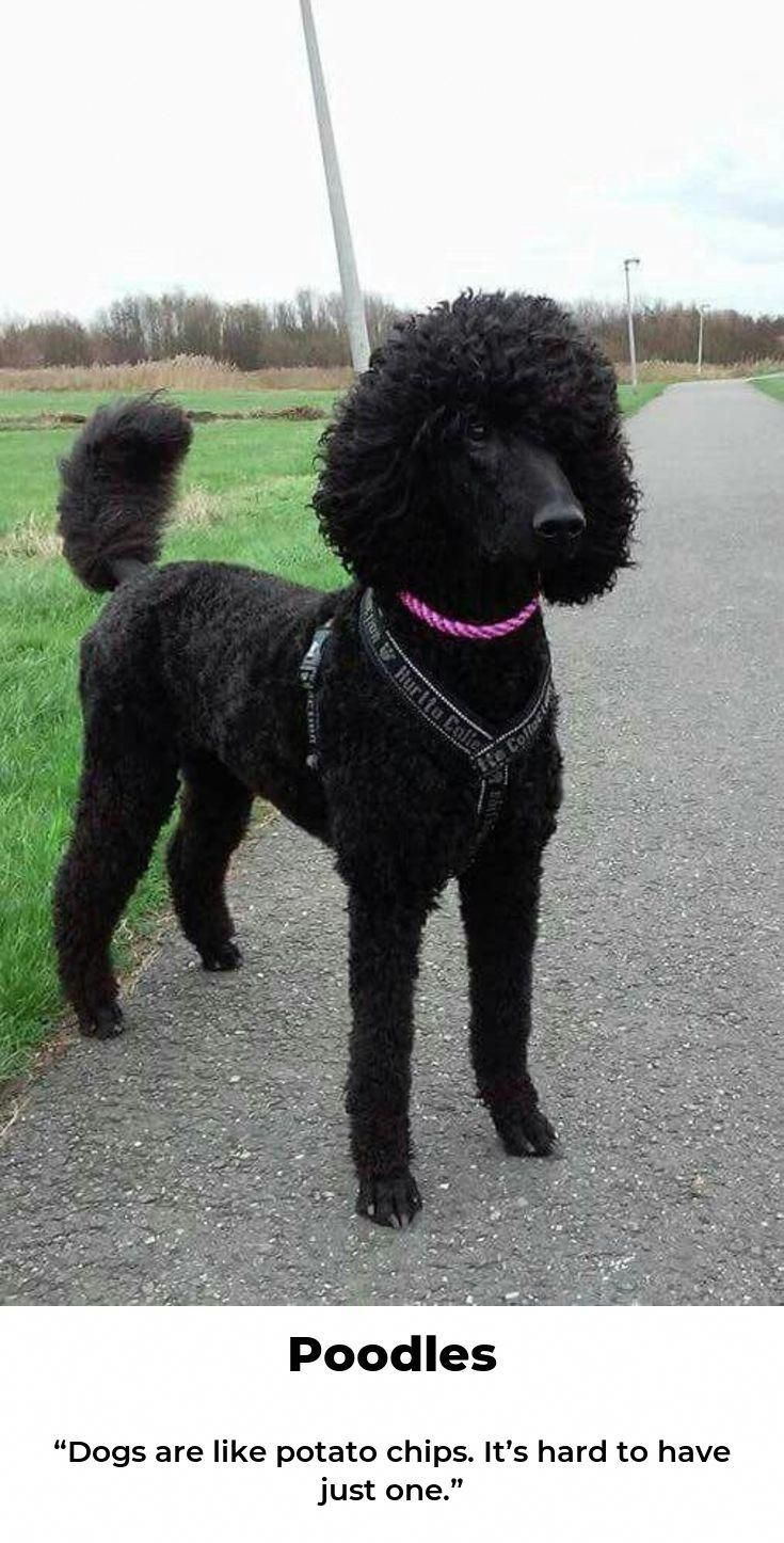 All The Things I Respect About The Proud Poodle Puppy Poodleboy
