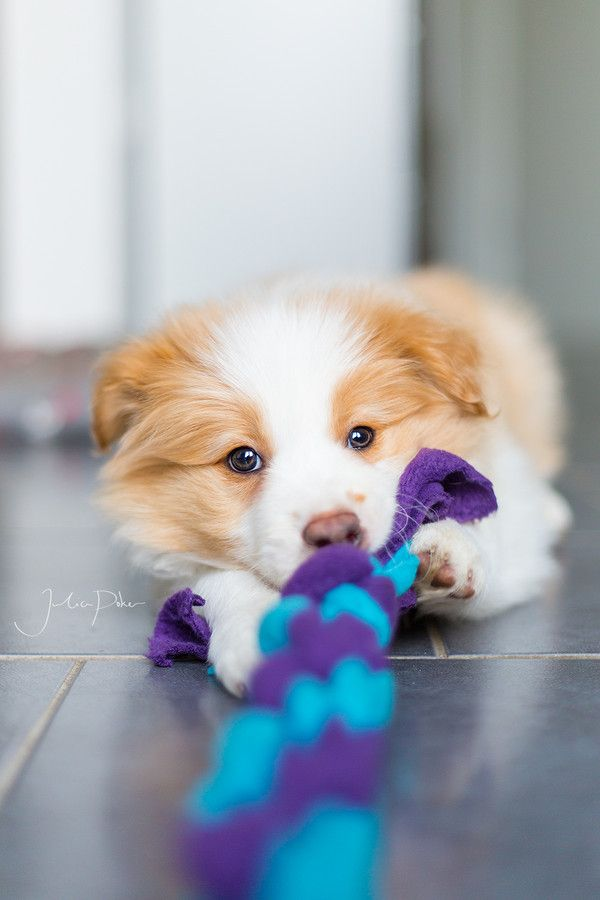 It's all mine! by Julia Poker on 500px - Border Collie puppy