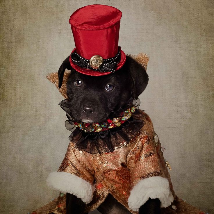Kennedy is a 6-8 week old Lab mix.  He is wearing a glamorous  design by Master Pet Couturier, Anthony Rubio for our Holiday Edition of the Shelter Pets Project.  Kennedy is available for adoption at UCAPS.  1000 Sunset Rd. El Dorado, Arkansas - 1-870-862-0502
