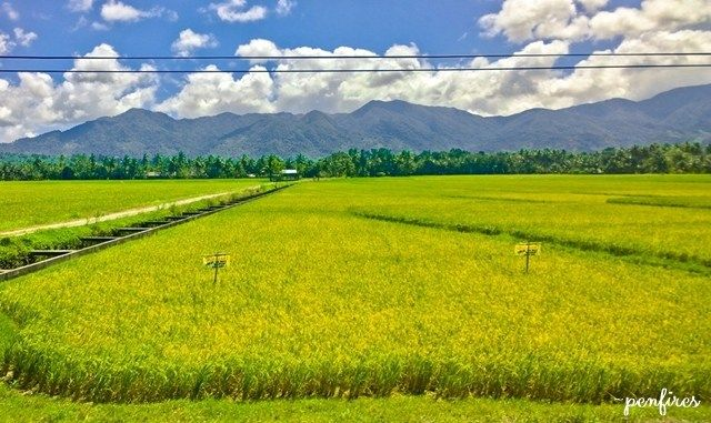 Central Luzon Rice Fields