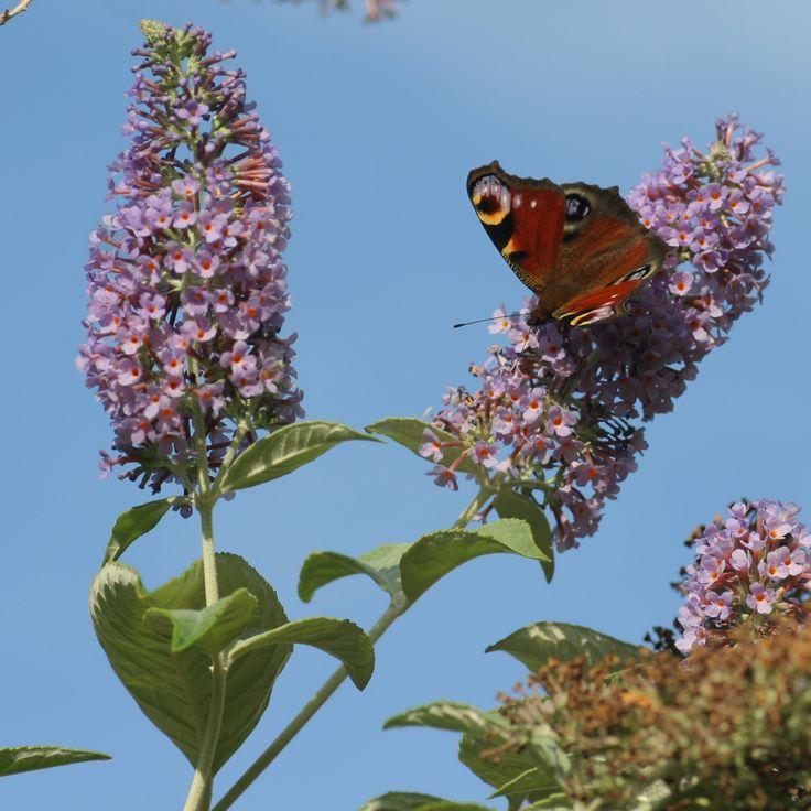 Vlinderstruik (Buddleja davidii). DE: Schmetterlingsflieder. EN: Butterfly-bush