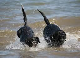 Image result for gower dogs