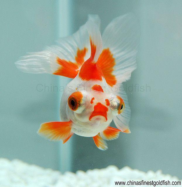 Butterfly goldfish