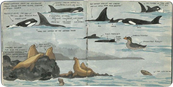 San Juan Island wildlife sketch by Chandler O'Leary