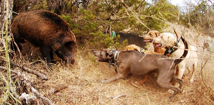 Blue Lacy Hog Dogs | Top 5 Hunting Dogs: Best Dogs For Each Major Game