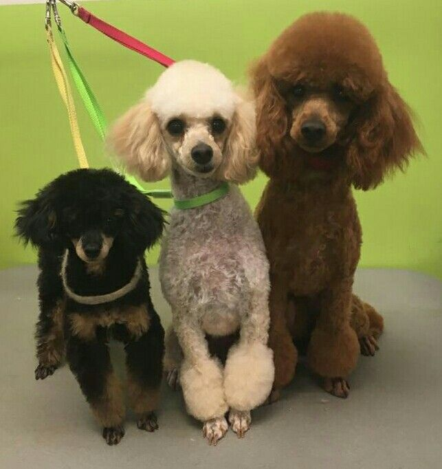 We love poodles all shapes and sizes!  Freshly groomed at Ola Puppy