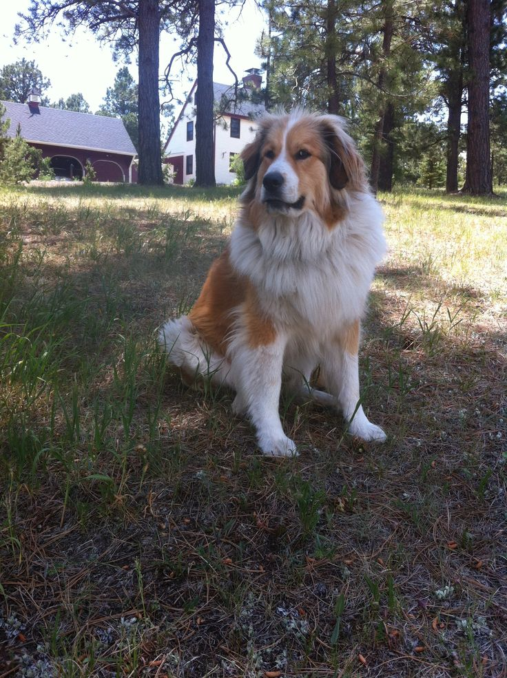 Our Beautiful Ruby- Great Pyrenees/Bernese Mountain Dog mix