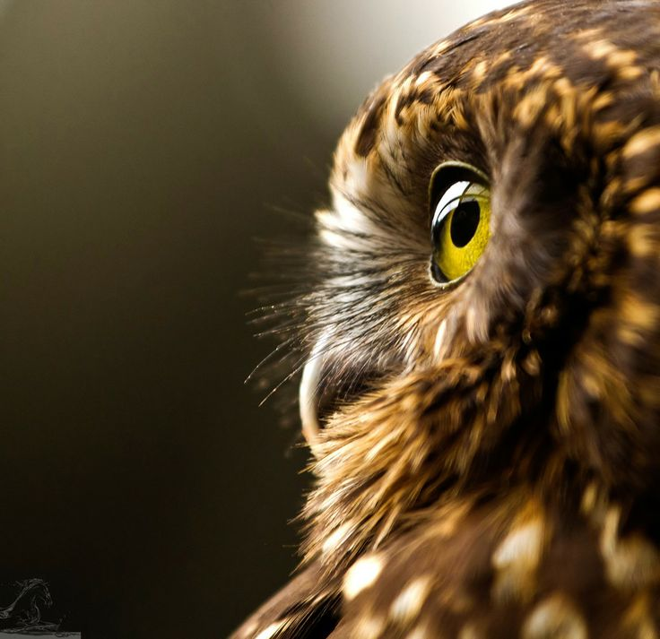 Morepork 2 by Kurien Yohannan on 500px