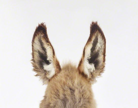 sharon montrose has some fabulous photos of animals! these baby donkey ears knock me out!