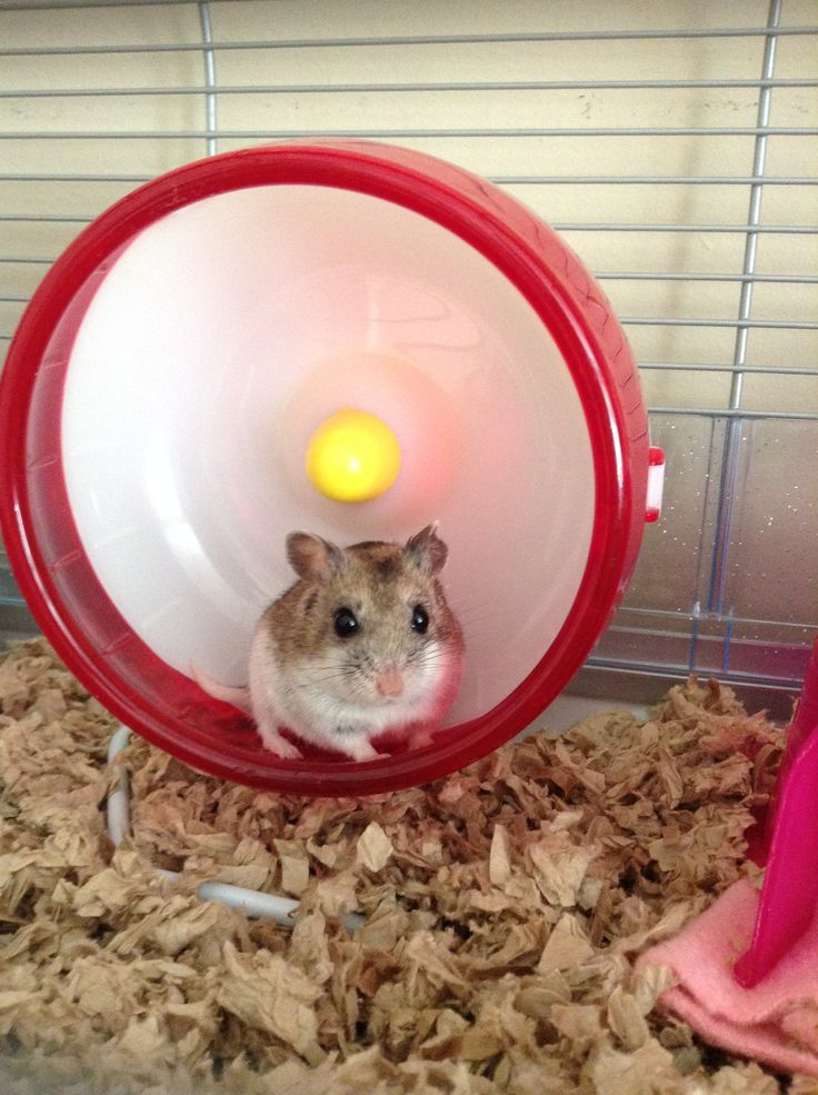 This is my Chinese Dwarf Hamster, Bella (or Bella Baby). She is adorable and loves cuddles and her blanket.