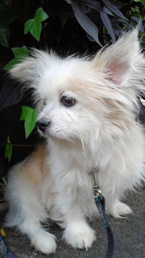 Rufus is an adoptable Pomeranian searching for a forever family near Etobicoke, ON. Use Petfinder to find adoptable pets in your area.