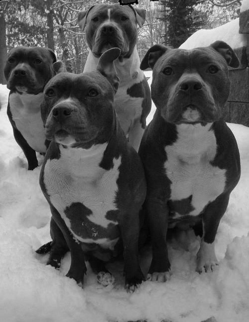 ohhh, a group of pitties <3