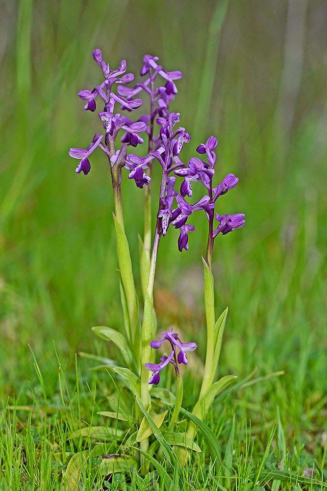 Isola Natura: Orchidee spontanee della Sardegna: Anacamptis long...
