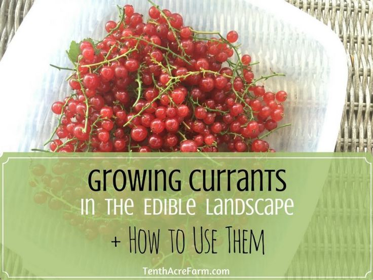 Currant bushes are a great addition to the edible landscape. See how we grow them in our front yard landscape, and find out how to use currants in the kitchen.