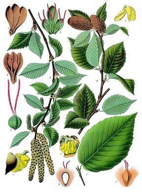 """""""Die #Zucker_Birke [1] (Betula lenta) ist ein mittelgroßer Laubbaum aus der Gattung der Birken in der Familie der Birkengewächse (Betulaceae). Das Verbreitungsgebiet liegt im Osten Kanadas und im Osten der USA."""""""