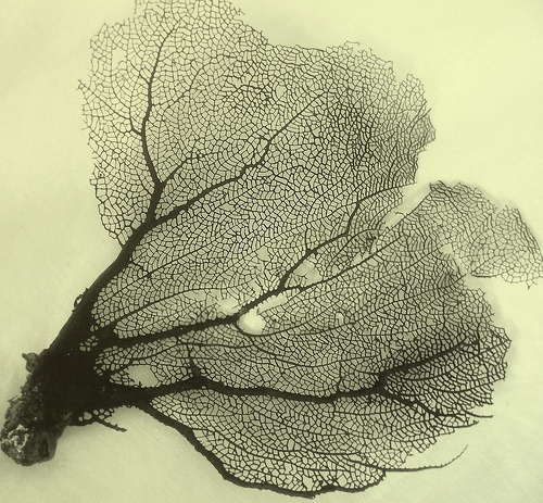karl blossfeldt - sea fan coral