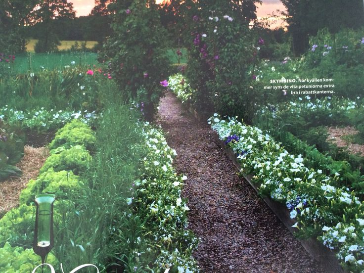 Petunior i trädgårdslandet