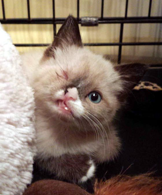 Sir Stuffington - kitten who survived a raccoon attack. They put a patch over his bad eye & he makes an adorable kitty pirate, but he's just as adorable w/out it!