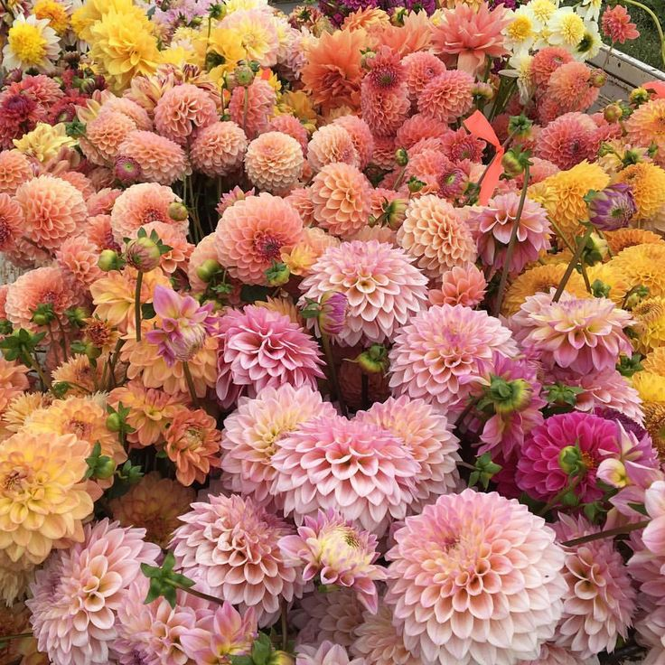 There's nothing quite like a truck bed full of dahlias. It gets me every time. #growfloret #floretbulbs #farmerflorist