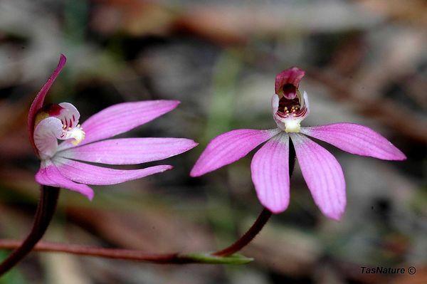 Tasmanian orchid the Caladenia Tonelli