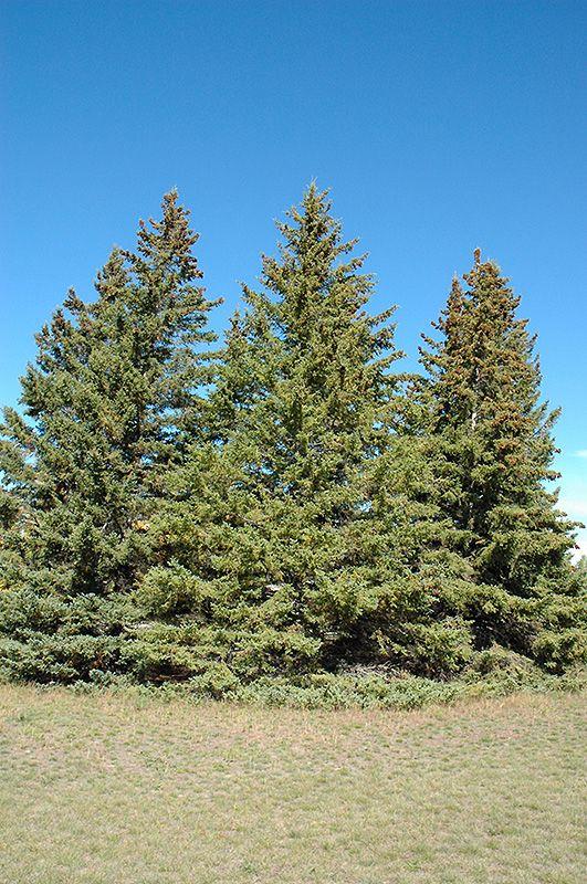 White Spruce (Picea glauca) at Connon Nurseries CBV