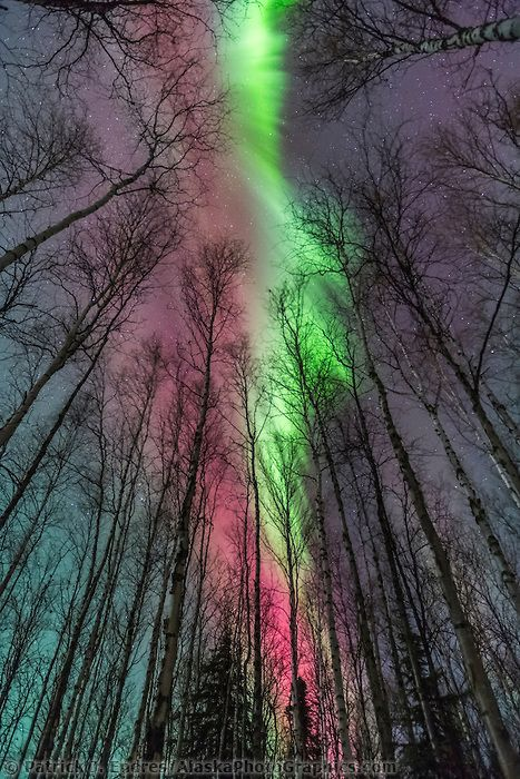~~Aurora borealis and birch trees   vibrant red and green northern lights above the birch tree forest in Fairbanks, Alaska by Patrick J Endres, Alaska Photographics~~
