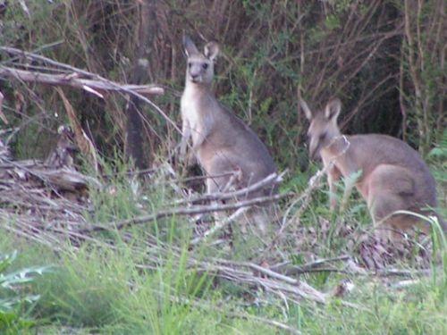 Kangaroos gespot. Camperreis Down Under/Australië. 2005.