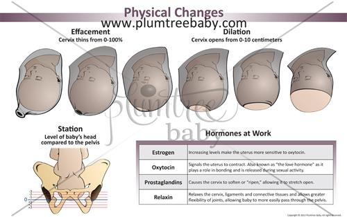 Excellent diagram illustrating Physical Changes during labor. Here ...