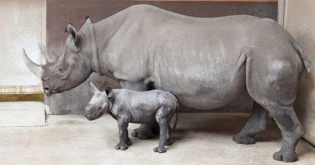 A rare Eastern Black Rhino was born September 12 at the Great Plains Zoo. The male calf is the third Rhino born at the Zoo and was the first Eastern Black Rhino, born as part of the Association of Zoo