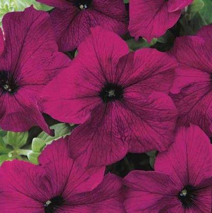 Petunia Velvet #pohlmansnursery #10pots #gardening #australia