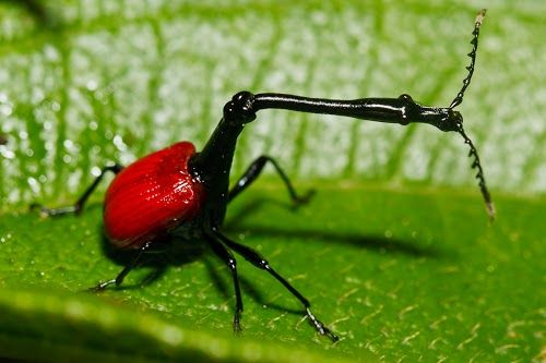 """""""The spectacular bright red giraffe-necked weevil is most easily seen at Ranomafana."""" Madagascar: the Bradt Guide; www.bradtguides.com"""