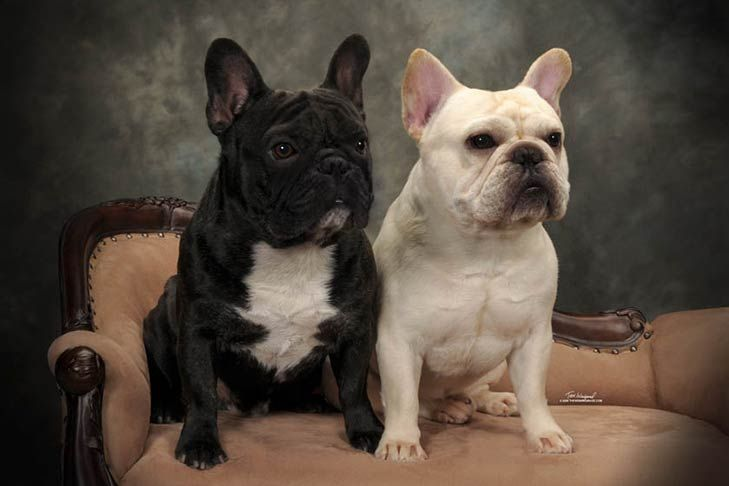 The Fastest Rising Dog Breeds 2018 French Bulldog Breed Bulldog