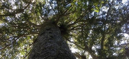 Guided Kauri Forest Experience.  Experience the enchantment of the Coromandel's great Kauri forests as you discover their story. Beauty without history is a picture. Beauty with history is an experience. Come with us and discover the real Coromandel. Coromandel Adventures, Coromandel Town Tours & Activities, Coromandel Peninsula.
